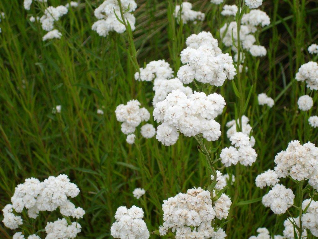 List of hardy perennials ptarmica the pearl 30 tall white flowers mightylinksfo