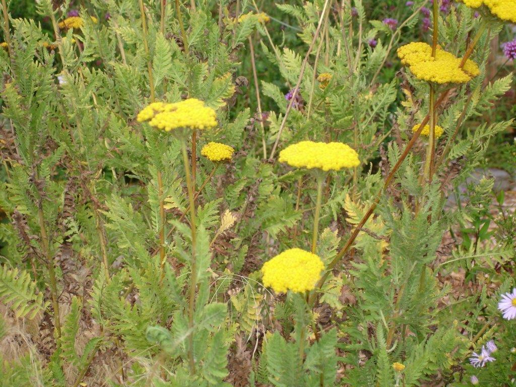 List of hardy perennials filipendulina 3 ft x 3 ft tall strong stems and golden yellow flowers mightylinksfo