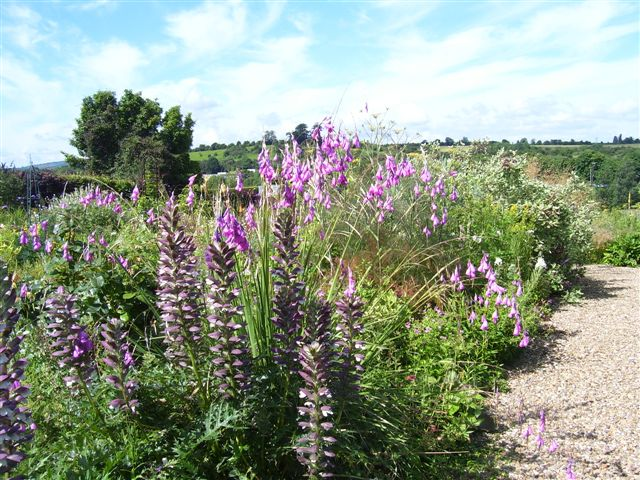 List of hardy perennials pulcherrimum our plants come from our own open pollinated seeds and therefore could be any colour from purple pink to white sun price dependent on size mightylinksfo