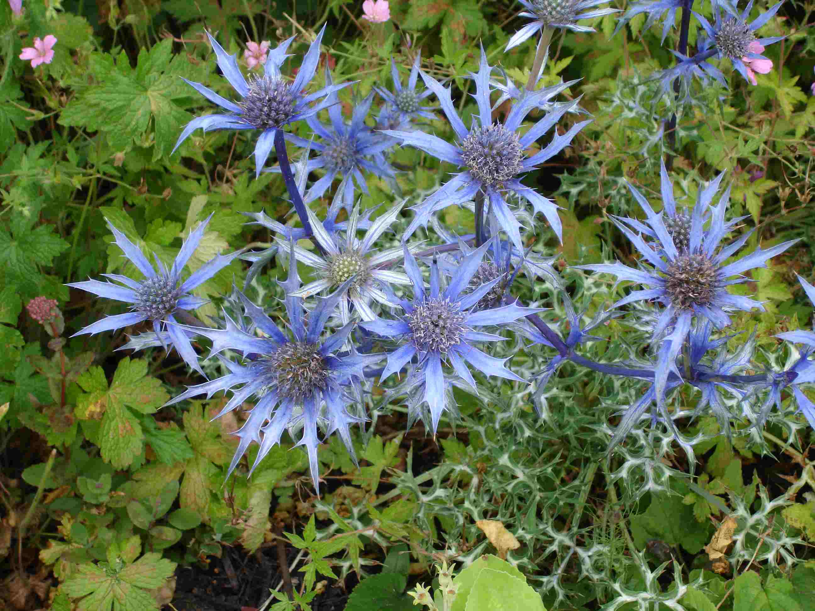 List of hardy perennials bourgatii graham stuart thomas selection mightylinksfo
