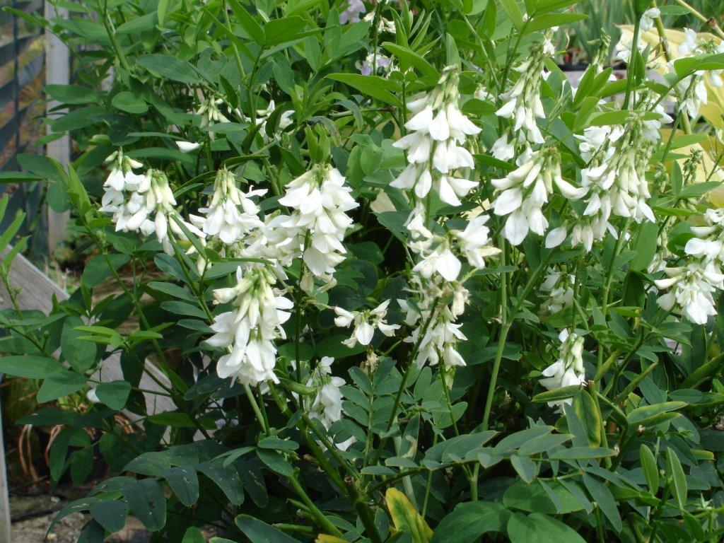 List of hardy perennials tall white pea like flowers which smell of coconuts in early summer will repeat in late summer to early autumn if cut back after the initial flowering dhlflorist Image collections