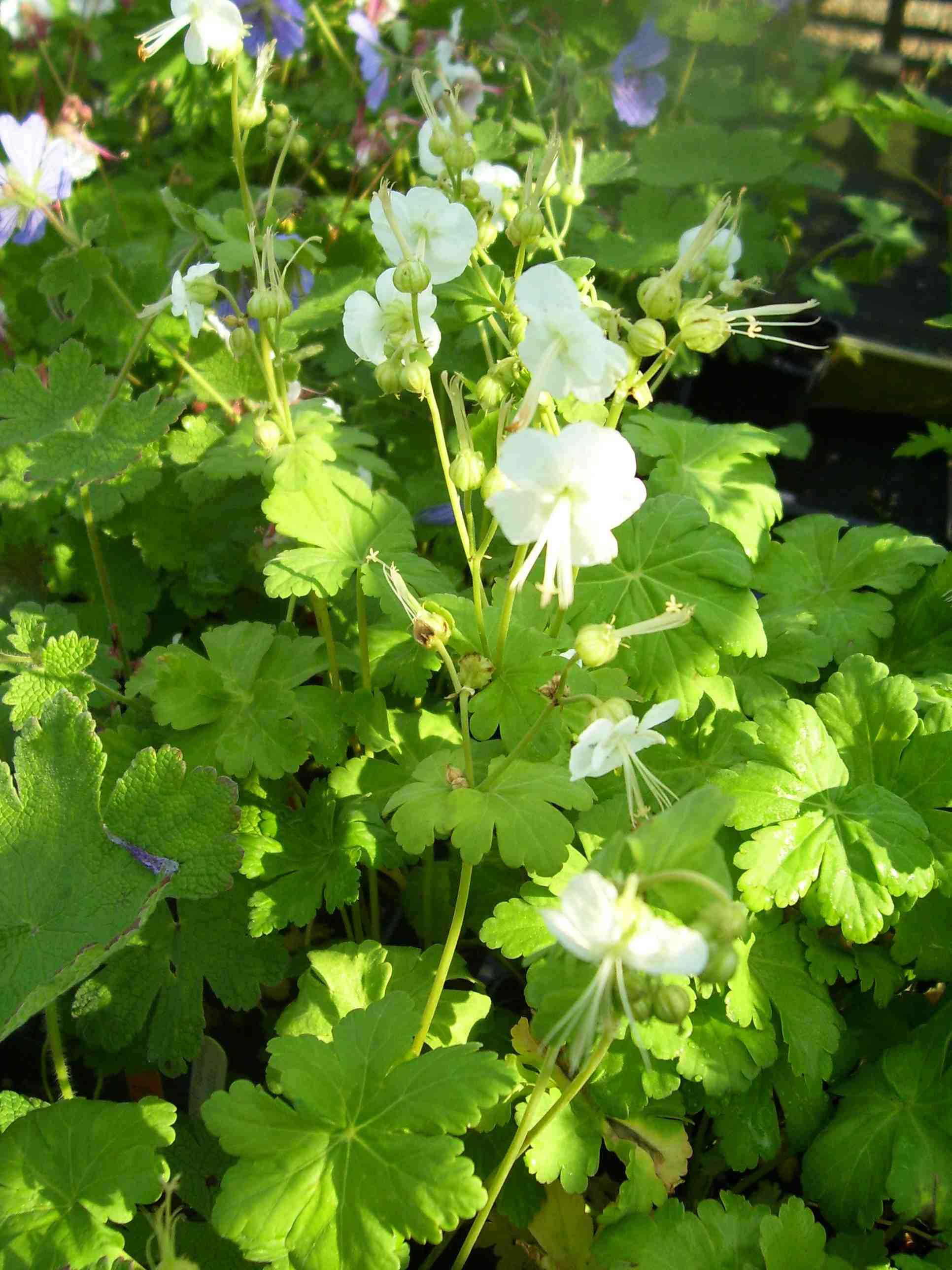List of hardy perennials smaller than the species with white flowers and pale green calyces mightylinksfo