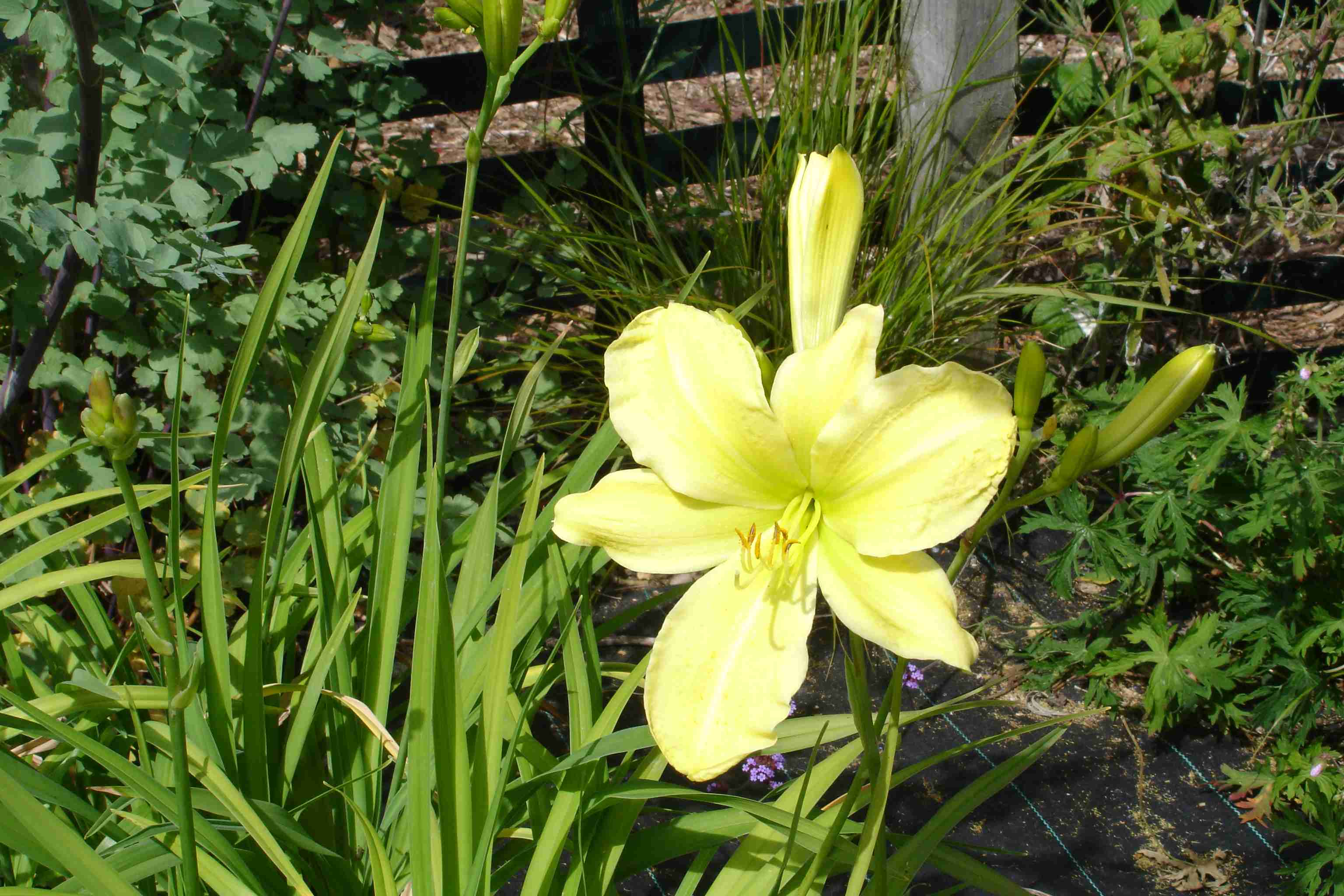 List of hardy perennials lark song 3 ft tall unusual form with fragrant 5 lemon yellow flowers mightylinksfo