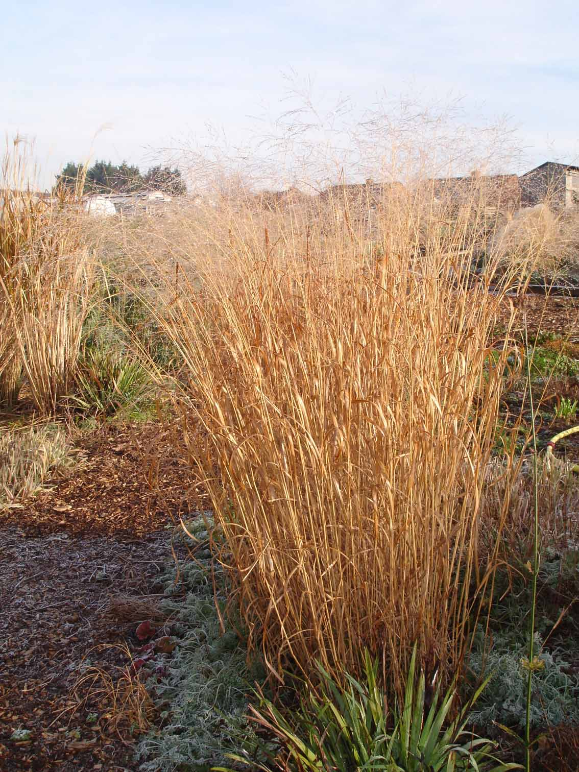 List of grasses for Yellow ornamental grass